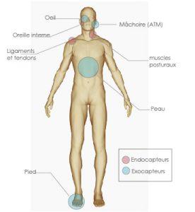 Endocapteurs et exocapteurs posturaux du corps humain