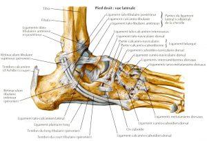 schéma anatomique du squelette de la cheville