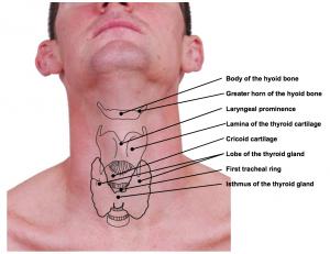 Cartilages et viscères de la gaine antérieure du cou