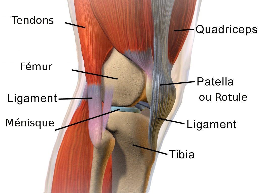 Le genou possede des os mais aussi des ligaments, ménisques, tendons pour le soutenir
