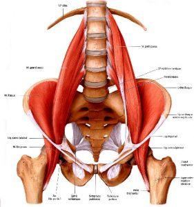 Le muscle psoas s'insere sur les lombaire et rejoint le fémur avec le muscle ilaque